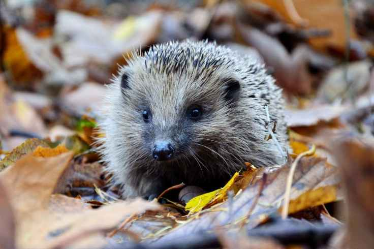 half-of-britains-hedgehogs-are-gone-heres-what-you-can-do-to-help-them-1500x1000
